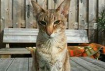 Mijn oosterse en siamese kortharige  katten