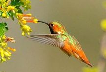 Beija flor ( kolibrie )
