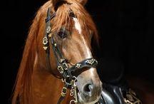 CavalReal Lusitano Horses / Beautiful Portuguese PSL Lusitano Horses, the cousin of the Spanish / Andalusian horse