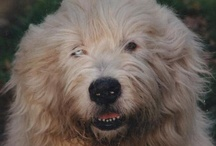 Bobtail / Old english sheepdog