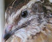 ορτύκια/quails