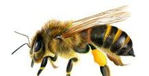 Honey Bee Watercolor Painting / Honey bee artwork prints and gifts.  Hand-painted honey bee wildlife artwork.