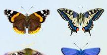 Butterflies in Watercolor / Butterfly artwork in watercolor.  British butterflies and moths.