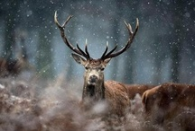 The Stag / by Cathryn Davis