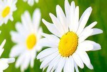 Daisies & Sunflowers / by Kim Manghise
