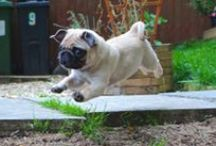 Pugs / All pins about Pugs :) / by Oihan BearCub
