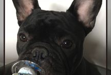 Dark Side of French Bulldogs / Dark Side of French Bulldogs #frenchie #frenchbulldog