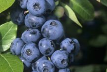 BLUEBERRY / BLUEBERRY - Celebrating the humble little blueberry, a Canadian berry that is much beloved for taste, colour and nutrition. Harvested in the late summer but enjoyed fresh and frozen all year long. Recipes, pictures, and more. BLUEBERRIES.