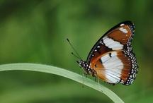 ButterflyIndia / ButterflyIndia part of http://DiversityIndia.org