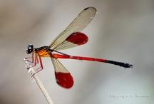 DragonflyIndia