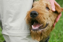 my airedale