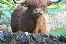 Scottish Highland Cows/Cattle - or Hairy Coos / We love Highland cattle and have a small herd of 45 in New South Wales, Australia.      Check out our website - http://www.ennerdalehighlands.com / by Scottish Highland Cattle / Cows