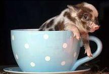 Tea Cup Potbelly Pig