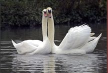Swan / Beautiful swans in black and white