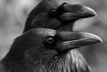 Crows and Ravens / Crows Ravens