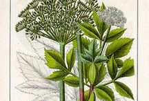 Angelica archangelica - kikkaputk / Heinputk, kikkaputk