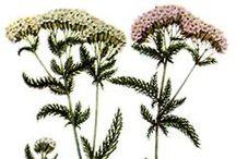 Achillea millefolium - Raudrohi / Harilik Raudrohi