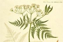 Myrrhis odorata - Mesiputk / Mesiputk