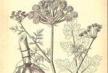 !! Cicuta virosa - harilik mürkputk / Water-Hemlock cowbane or northern water hemlock