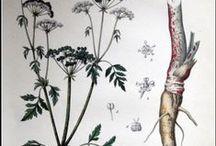 !! Conium maculatum  - täpiline surmaputk / hemlock or poison hemlock