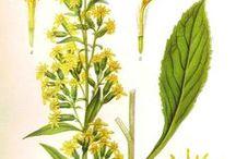 Solidago virgaurea L., Asteraceae - Kuldvits