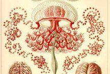 Haeckel / en.wikipedia.org/wiki/Kunstformen_der_Natur
