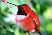 BIRDS   HUMMINGBIRDS