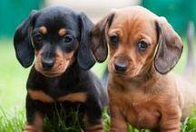 DOGS PUPPY LOVE