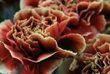 Carnations / Carns and Mini carns are great durable strong flowers, love them! Available in a wide range of colors.