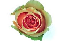 Roses Bicolor / Fall Colors in two tones / Bicolor rose varieties with fall colors.