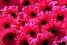 Gerberas / There are not happier flowers than Gerberas!