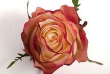 Roses Bicolor (other) / Some roses have 2 and 3 tones on all sorts of colors