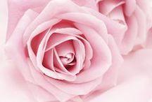 ♦ Rose