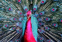 [ Peacock ]