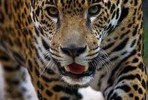 Guepardos, Leopardos, Onças, Tigres... / Amo!