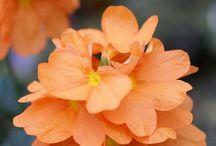 Oranssi / Orange
