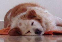 PACO SWEET DOG / The Lion King of Borzano City.  Property of LA.