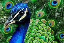 Peacocks / by Sylvie Pelletier