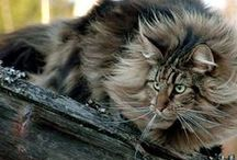The Maine Event / Maine Coon cats - the Mothership has landed!