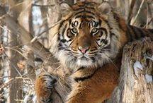 Grandes Felinos / Los felinos mas imponentes y majestuosos de la vida salvaje.