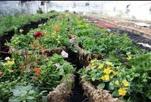 Spring Hanging Baskets & Planters / Here are Spring Pots and Hanging Baskets grown at Stevens and Son Wholesale Florist
