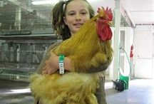 Chic Chickens / Everything about Chickens