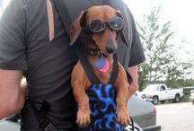 Dachshunds / Super funny little sausage dogs