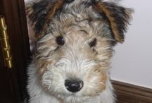 Wire fox terrier / The cutest and funniest breed of dog