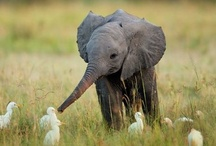Elephants / If you don't have a board dedicated to elephants, you have a sad life. / by Desiree Ashley