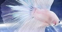 Betta Fish / Need help taking care of your betta fish? Come on in and discover all the information you'll ever need! You'll find Betta fish care tips, amazing pictures of betta fish and more.