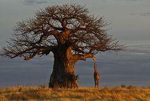 Baobab. / Prachtige bomen in Afrika.
