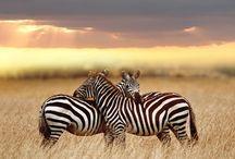 Zebra / Zebra als inspiratie voor design en mooie zebra foto's.
