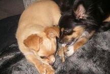 Onze chihuahua's Kyra en Foxy / Moeder en dochter chihuahua