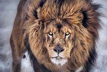 Animals: Lion